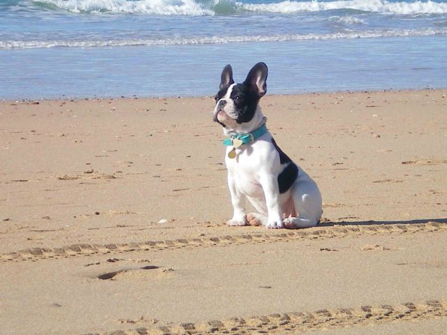 bulldog frances en la playa