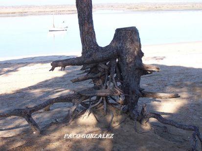 Pino en el rio san Pedro