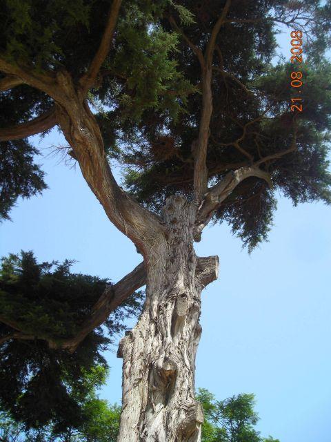 Árbol del parque genobés, refugio de periquitos