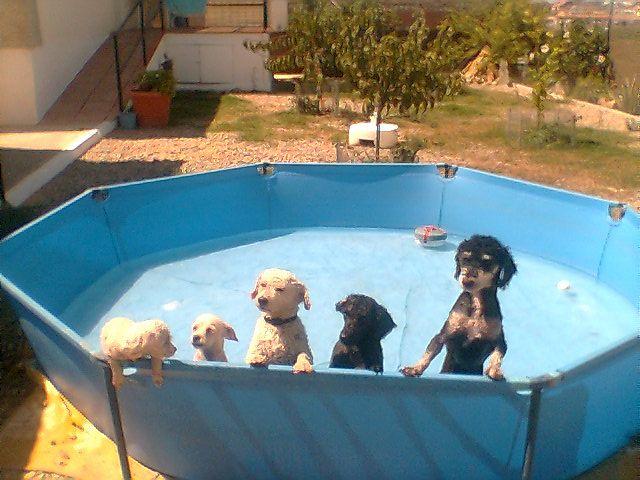 mis perros en la piscina