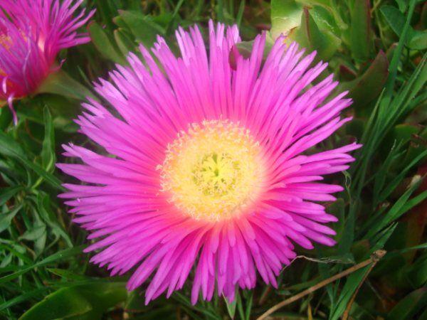 Flor de la uña de gato