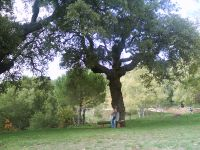 alcornoque en Alahar, Aracena