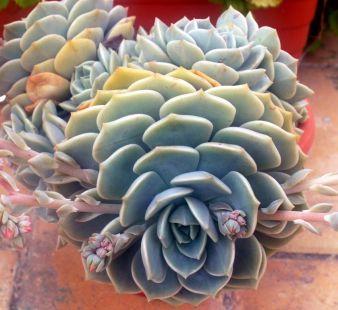 Flor de Piña.