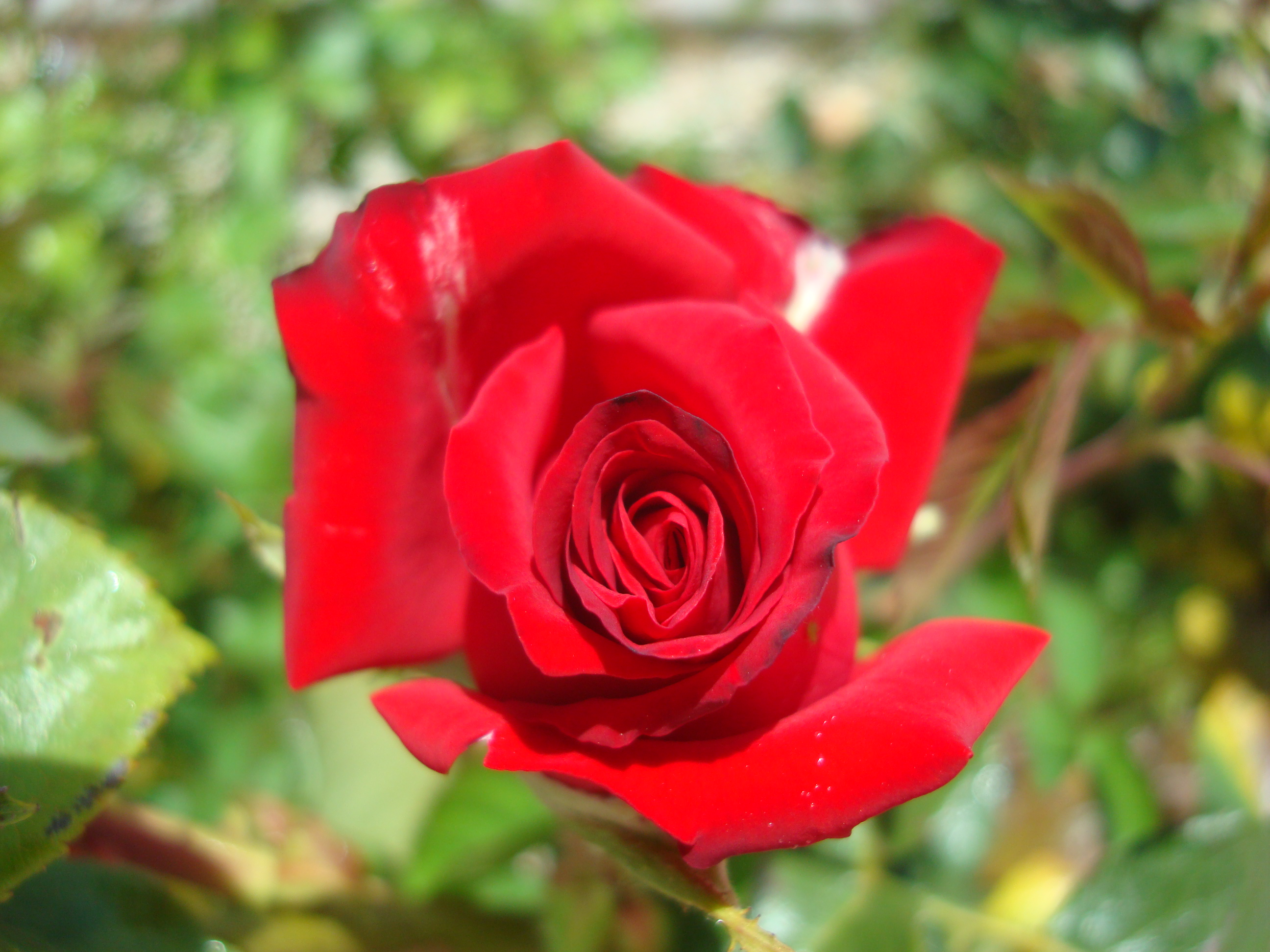 Rosas las flores mas hermosas fotos de naturaleza for Las plantas mas bonitas