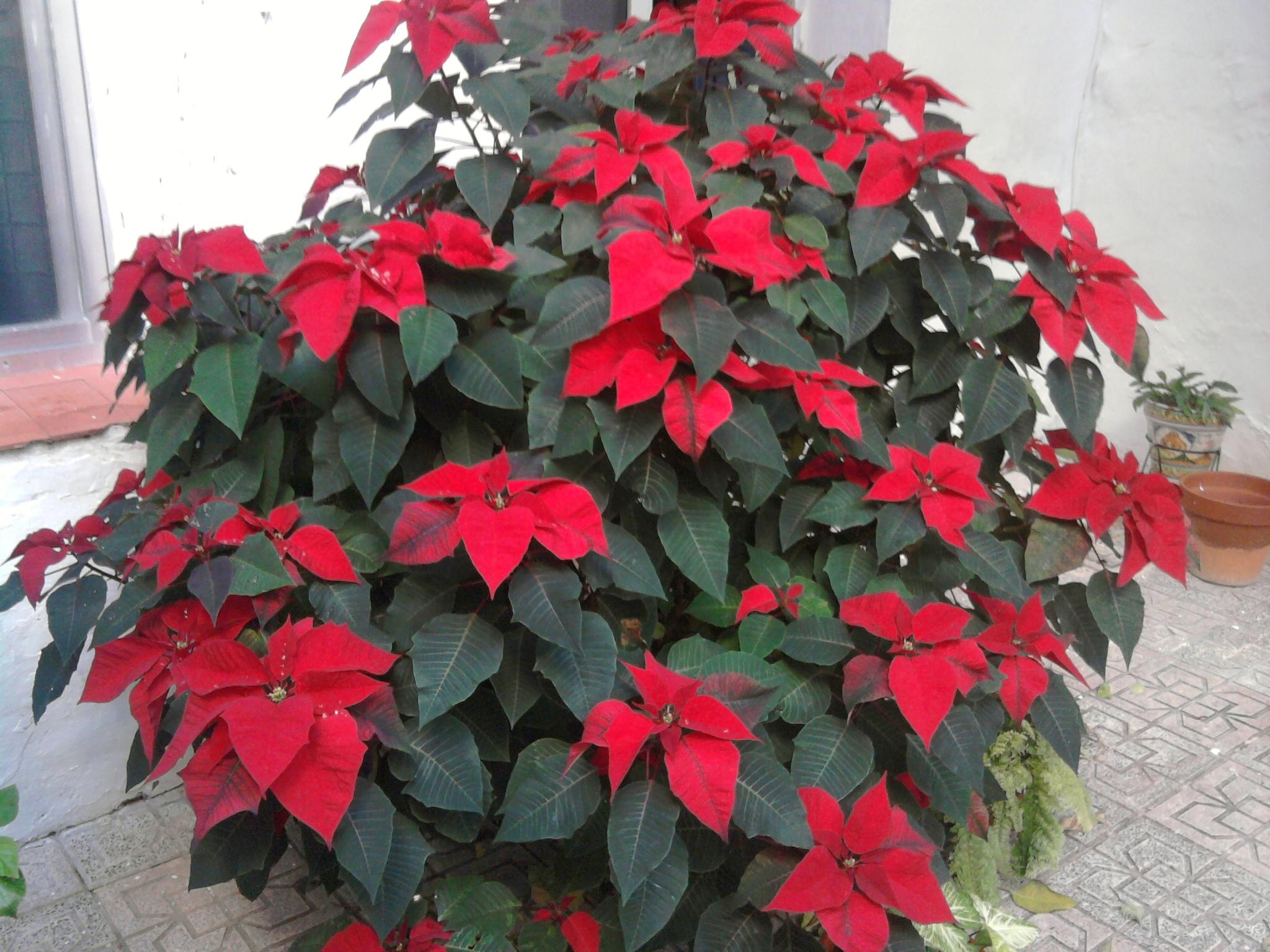 Flor de navidad fotos de fotos navide as - Imagenes flores de navidad ...