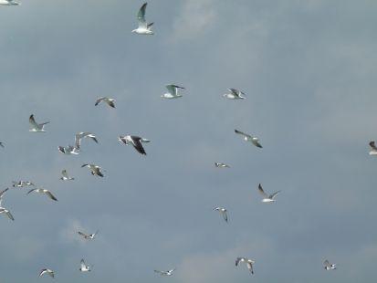 Gaviotas en su vuelo