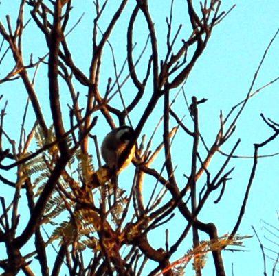 Jilgueros y pájaros silvestres.