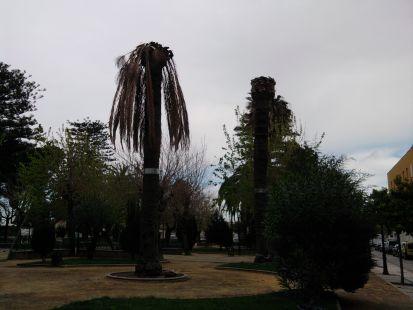 PALMERAS ENFERMAS