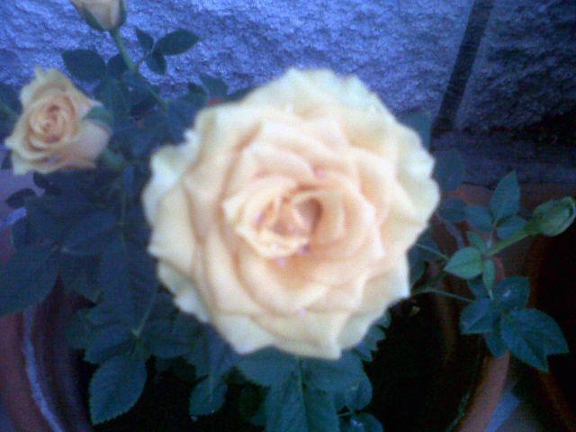 Una rosa de mi jardín.