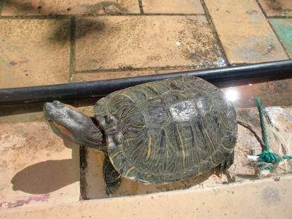 La tortuga.