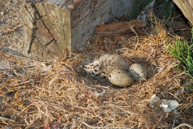 El Vuelo de las Gaviotas 14-05-2013 (Nacimiento de polluelos