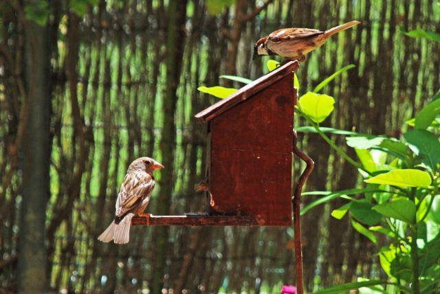 Gorriones en mi jardín