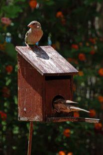 Gorriones en mi jardín-4