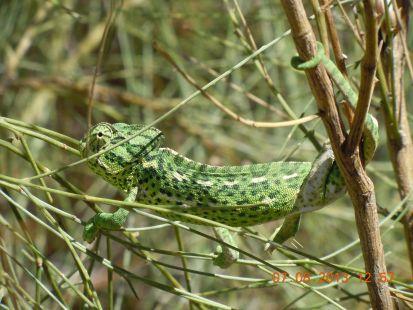 precioso camaleón