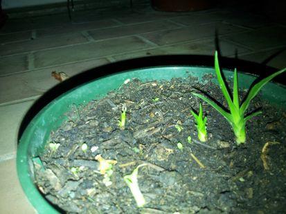 Pequeños dragos que van creciendo, en mi azotea.