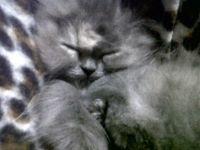 Tana dormida.