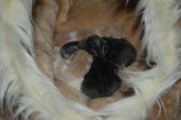 Gatos persa, diez días de vida tienen solamente.