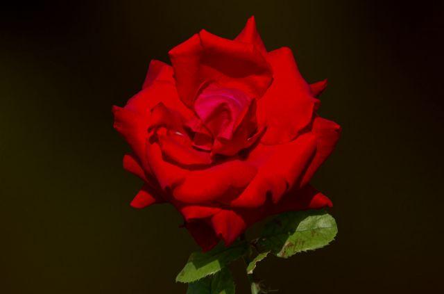 rosa sobre ocre